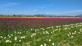 tulipanes, washington
